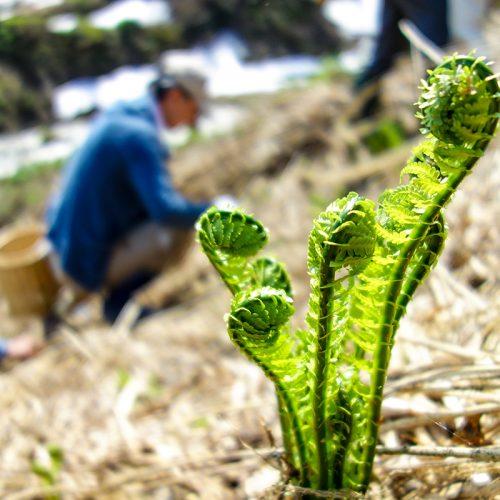 山菜採りハイキング